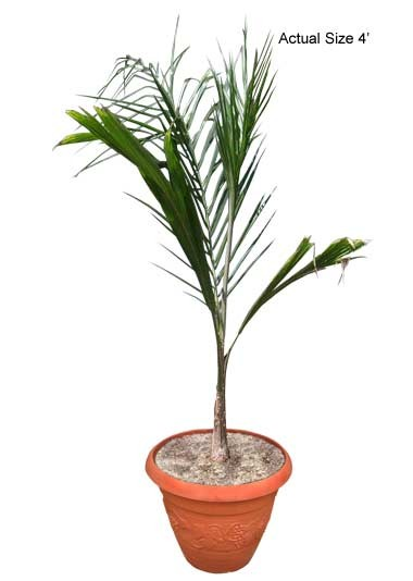 Small Queen Palm Tree - Syagrus romanzoffiana