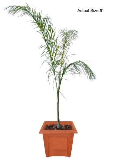 Medium Queen Palm Tree Syagrus Romanzoffiana Outdoor Web