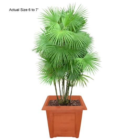 Jade Empress Palm Tree - Rhapis multifida (Web)