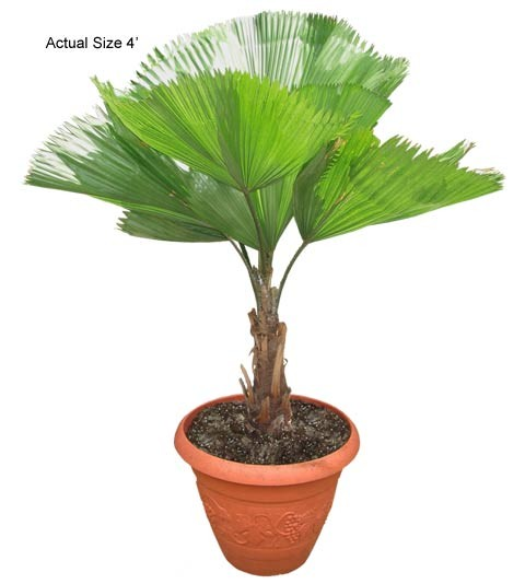 Small Ruffled Fan Palm Tree - Licuala grandis Web