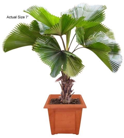 Medium Ruffled Fan Palm Tree - Licuala grandis