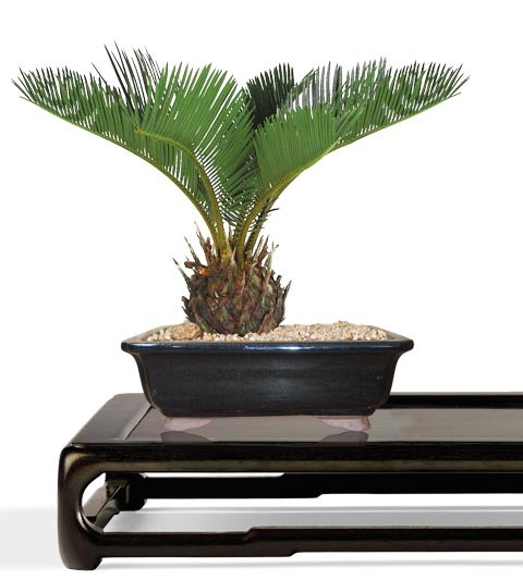 Sago Bonsai Tree - Small Bonsai Tree - Cycas Revoluta (Web)