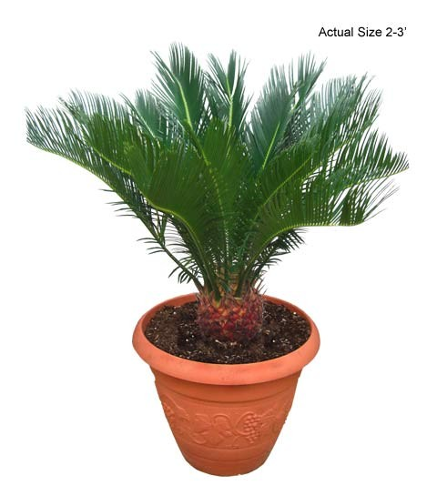 Small 2-3 FT Sago Palm Tree - Cycas revoluta Web