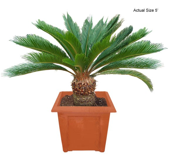 Medium Sago Palm Tree - Cycas revoluta