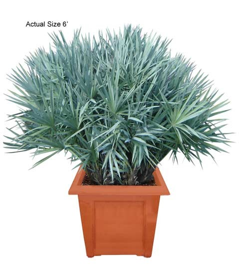 Medium Silver Saw Palmetto Palm Tree - Serenoa repens (Web)