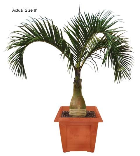 Medium Spindle Palm Tree - Hyophorbe verschaffeltii