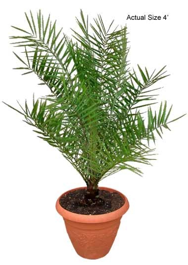 Small Sylvester Date Palm Tree, Wild Date Palm - Phoenix Sylvestris