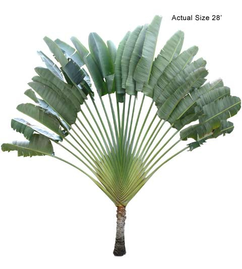 Large Travelers Palm Tree