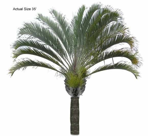 Triangle Palm Tree (Triangle Palm Tree, Dypsis decaryi, Large )