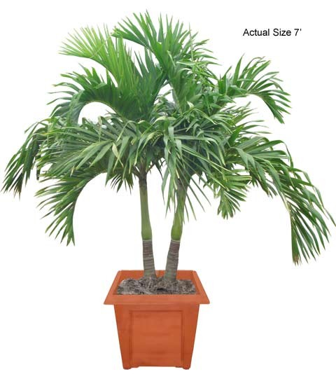 Medium Multi Stem Christmas Palm Tree