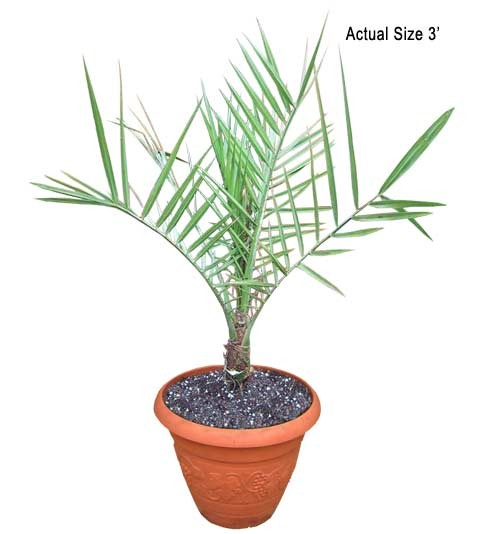 Small True Date Palm Tree - Phoenix dactylifera