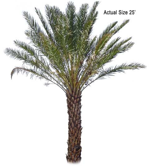 Large True Date Palm Tree (Deglet Noor)