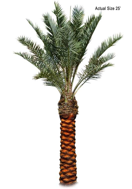 Large True Date Palm Tree Phoenix dactylifera (Medjool) - Medjool Date Palm