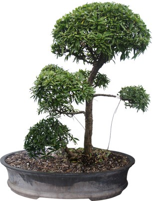 "Willow Leaf Ficus Bonsai Tree 26"" Tall: Medium (Web)"