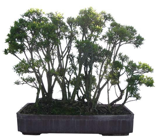 "Willow Leaf Ficus Bonsai Tree Forest 39"" Tall - Neriifolia ficus Web"