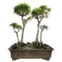 "Benjamin Ficus Bonsai Tree 31"" Tall: Small"