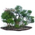 "Crape Myrtle Bonsai Tree Grouping 66"" Tall: Large"