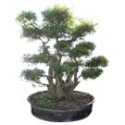 "Crape Myrtle Bonsai Tree 63"" Tall: Large"