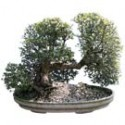 Dwarf Jade Bonsai Tree: Large