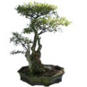 "Crape Myrtle Bonsai Tree 44"" Tall: Large"