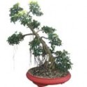 "Green Island Ficus Bonsai Tree 44"" Tall: Medium"