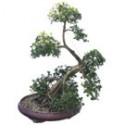 "Green Island Ficus Bonsai Tree 41"" Tall: Medium"