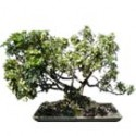 "Hawaiian Umbrella Bonsai Tree 35"" Tall: Medium"