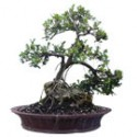 "Green Island Ficus Bonsai Tree 25"" Tall: Small"