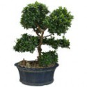 "Fukien Tea Bonsai Tree 28"" Tall: Small"