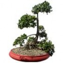 "Green Island Ficus Bonsai Tree 32"" Tall: Small"