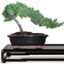 Juniper Bonsai Tree: Small