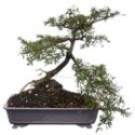 "Black Olive Bonsai Tree 18"" Tall: Medium"