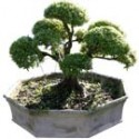 "Willow Leaf Ficus Bonsai Tree 30"" Tall: Large"