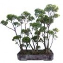 "Willow Leaf Ficus Bonsai Tree Forest 39"" Tall: Large"