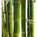 Common Bamboo Palm Tree: Medium
