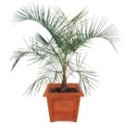 Mule Palm Tree: Medium