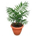 Parlor Palm Tree: Small