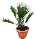 Everglades Palm Tree - Acoelorrhaphe wrightii Buy Palms (Thumb)