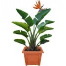 Bird of Paradise: Medium Strelitzia reginae (thumb)