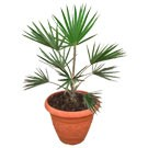 Small Blue Latan Palm Tree - Latania loddigesii (Thumb)