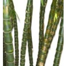 Buy Buddha's Belly Bamboo Palm Tree RealPalmTrees.com Bambusa Ventricosa Buddhas Belly Thumb