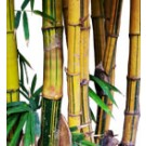 Buy Golden Hawaii Bamboo Palm Tree Medium RealPalmTrees.com Bambusa Vulgaris vittata