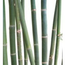 Buy Oldham Bamboo Palm Tree Medium Real Palm Trees Bambusa Oldhamii Thumb
