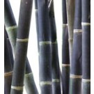 Buy Timor Black Bamboo Palm Tree Medium bambusa lako RealpalmTrees.com Thumb
