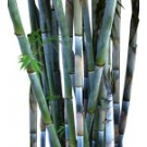 Buy Tropical Blue Bamboo Palm Tree-medium-real palm Trees Bambusa chungii Thmb