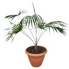 Cayman Thatch Palm- Coccothrinax proctorii Buy Palm Tree (Thmb)