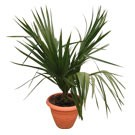 Small Dwarf Palmetto Palm Tree, Sabal minor thumb