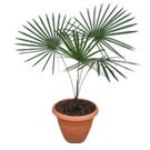 Small Miraguama Palm Tree - Coccothrinax miraguama (Rare Palm) Thumb