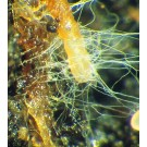 Mycorrhizal Fungi Root Stimulator Up Close Web