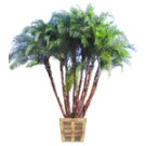 Senegal Date Palm Tree (Wild Date Palm): Large Thumb